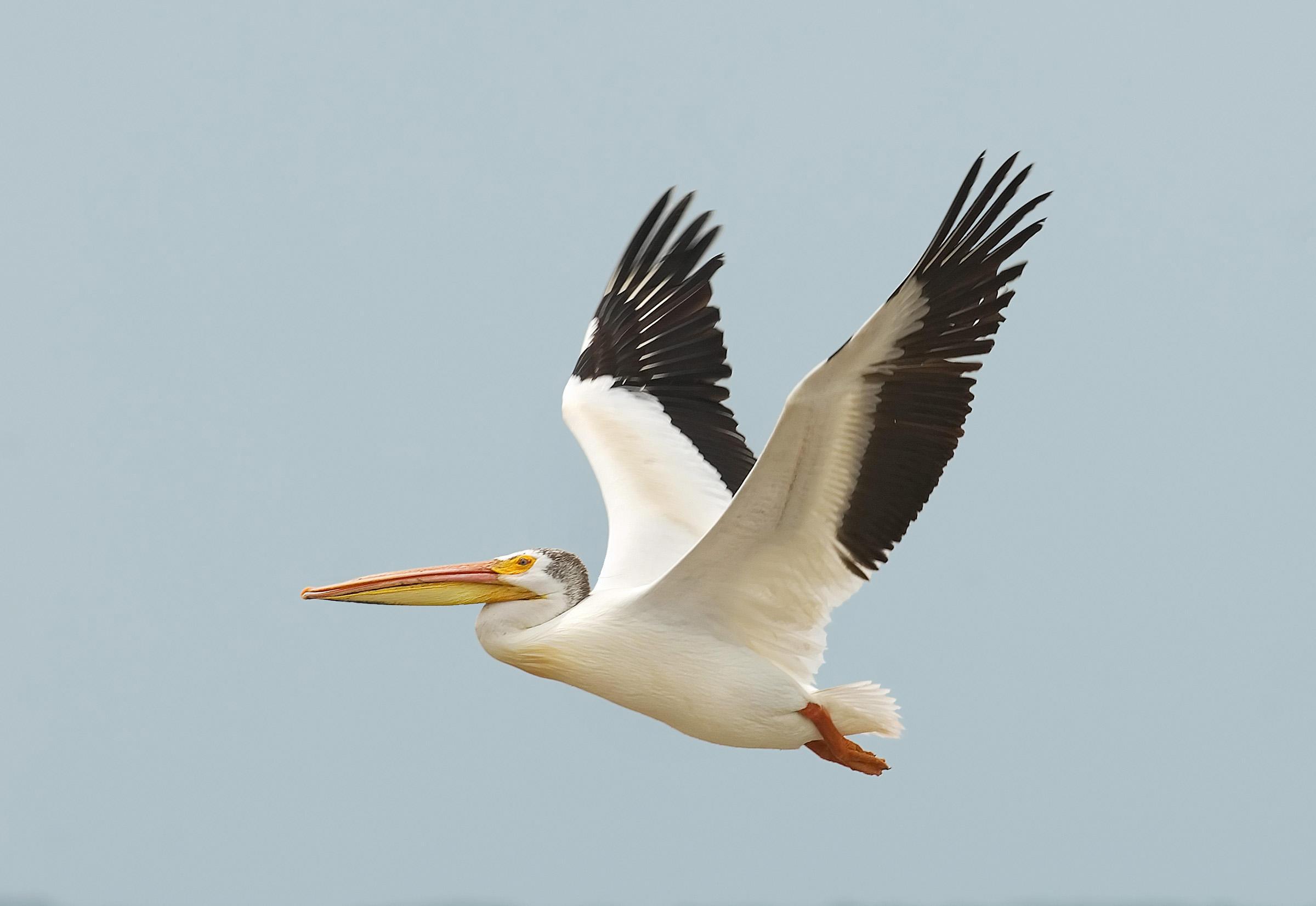 american-white-pelican-audubon