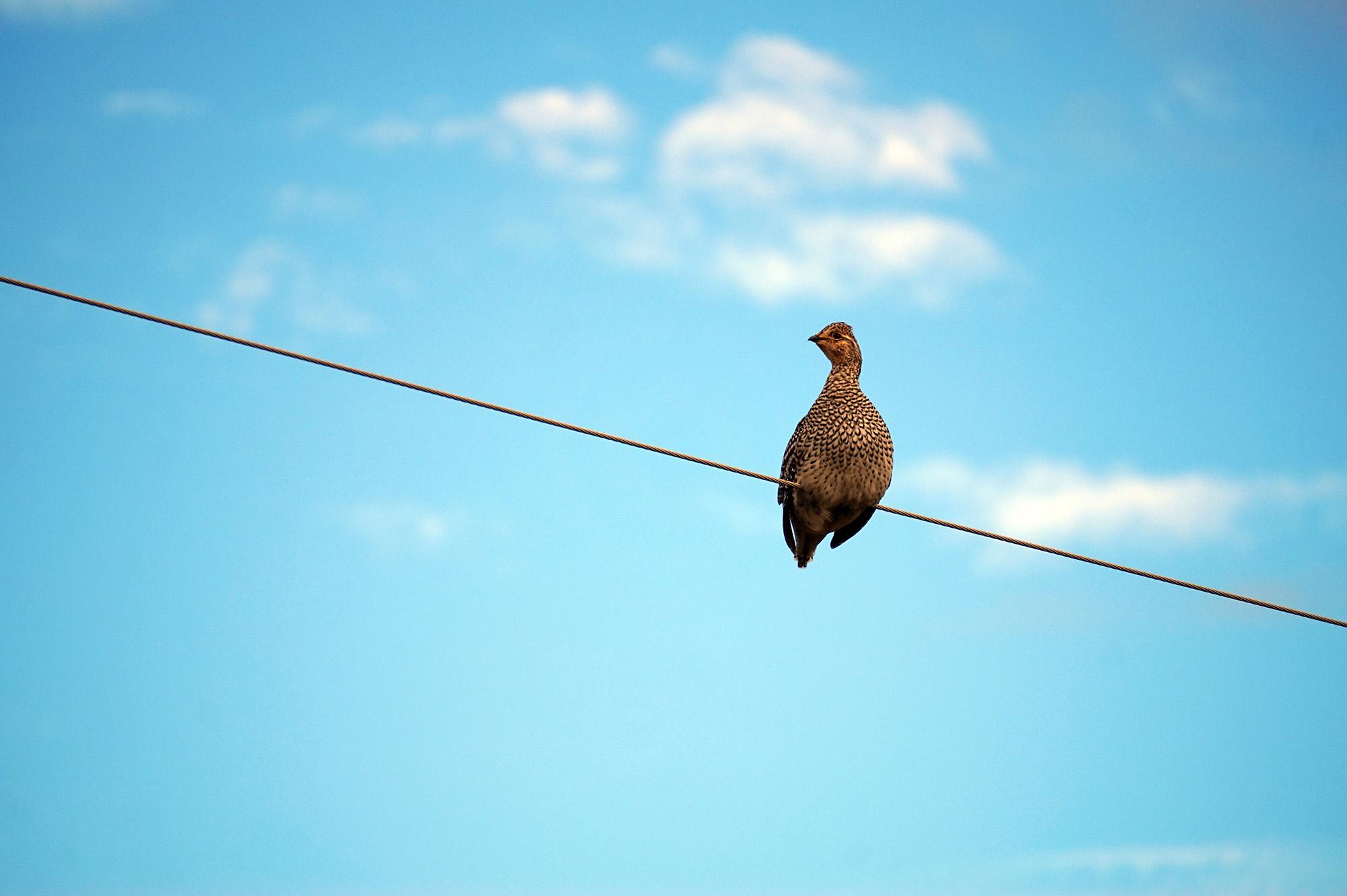 chicken-wire