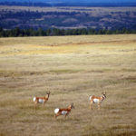 apr-pronghorn-square